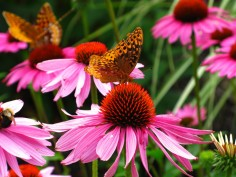 Butterfly-Purple-Cone-Flowers