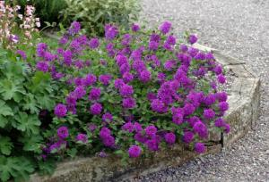 Verbena homestead Purple 01