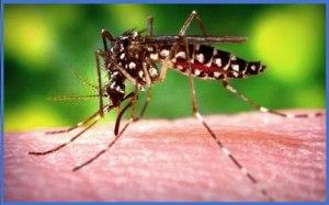 chikungunya-mosquito-qprrxkvl1