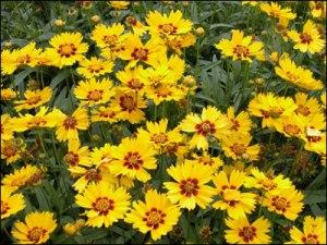 Coreopsis gardeningsolutions.ifas.ufl.edu
