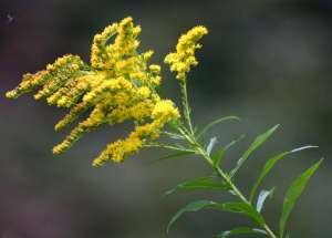 Goldenrod Solidago virgaurea