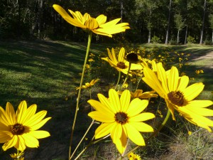 Wildflowers at Okaloosa County Extension Office. Photo Credit: Larry Williams
