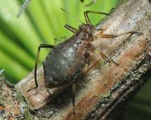 conifer beetle