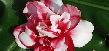 camellia_bicolor360