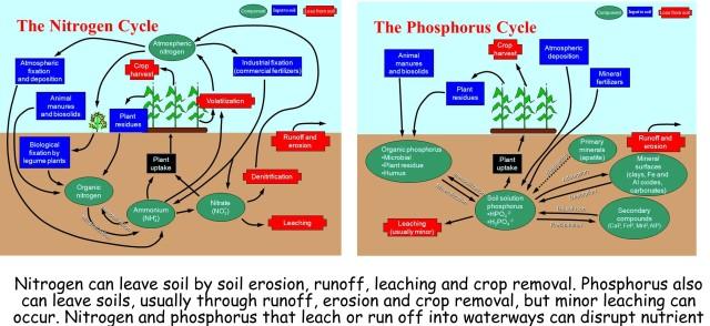nitrogen and phosphorus cycles